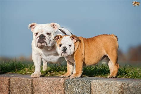 different breeds telling the different bulldog breeds apart pets4homes