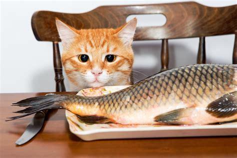 cibo per gatti fatto in casa cibo per gatti fatto in casa con il pesce animalpedia