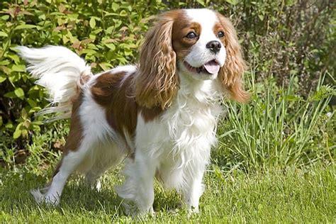 cavalier king in appartamento le 10 migliori razze di cani