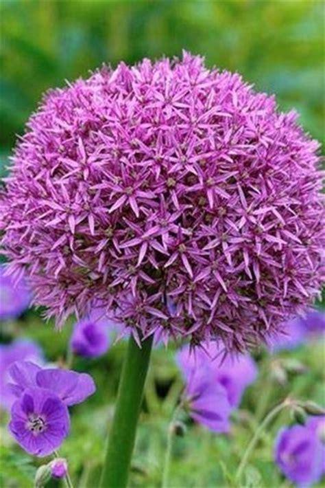 bulbo fiore fiori bulbi bulbi bulbi fiori caratteristiche