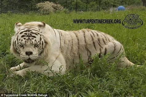 Tshirt Natgeo Lost how generations of inbreeding to create white tigers