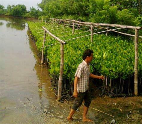 Bibit Mangrove jual bibit bakau bibit mangrove