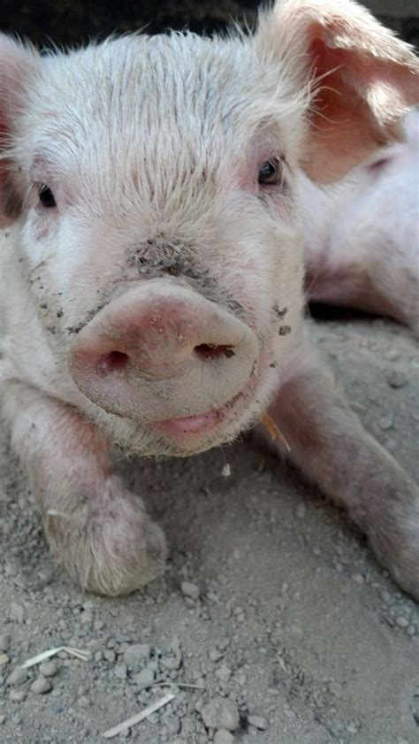Dust Pluggy Piggy Pig 60 best images about pig nose on happy pig blue skies and closeup