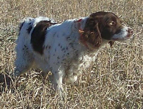 bird dogs for sale dogs for sale outback kennels