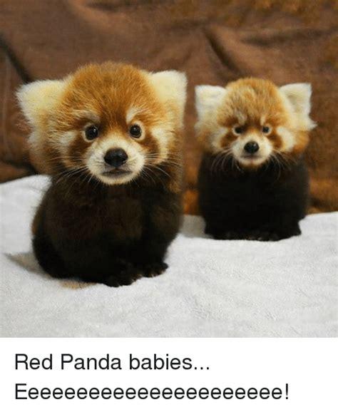 Red Panda Meme - 25 best memes about red pandas red pandas memes
