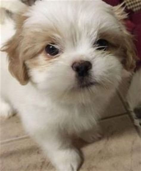 brown and white shih tzu puppy is coming soon doggies
