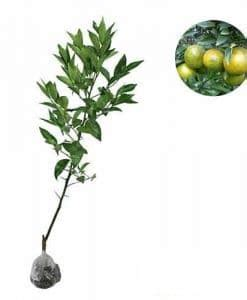 Bibit Jagung Ungu jual bibit tanaman benih tanaman kirim ke seluruh