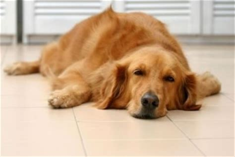 golden retriever coughing kennel cough treatment