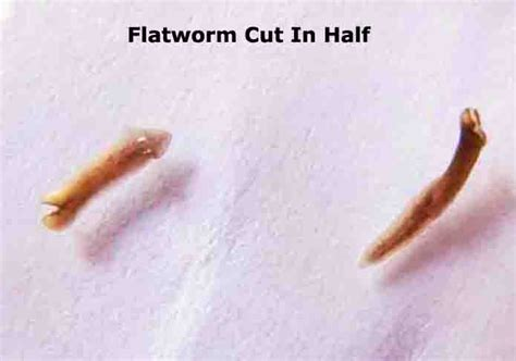 dugesia planarian flatworm  images photographs