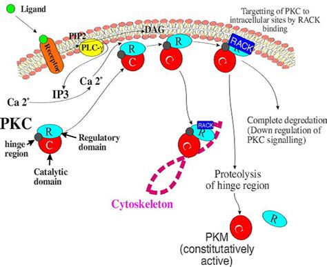 protein kinase a function protein kinase c experiments
