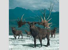 Photo : Megaloceros giganteus Irish Elk