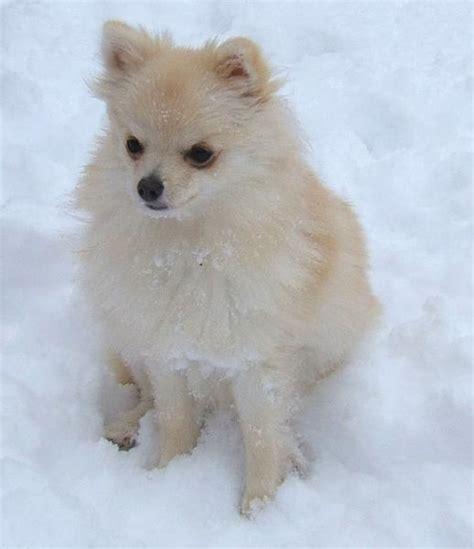 snow white pomeranian white pomeranian puppy in snow outside jpg