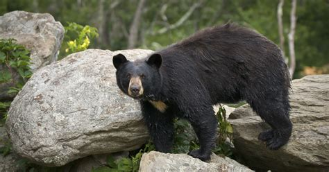 black bears already on the move in wnc
