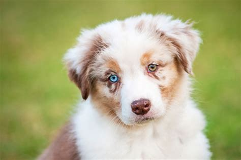 dogs with two different colored heterochromia two different colored allaboutvision