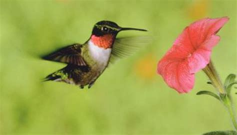 colors of hummingbirds how to detect a from a hummingbird animals