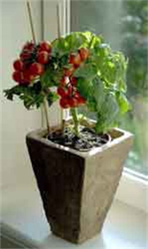 indoor tomato garden indoor gardening for the frugal gardener