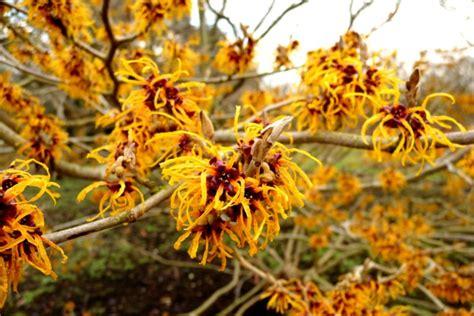 hybrid witch hazel focus on flowers indiana public media