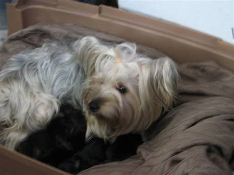 free puppies okc bleed yorkie puppies for sale adoption from lawton oklahoma adpost