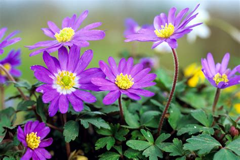 anemone blanda an 233 mone de printemps anemone blanda i d 233 tente jardin