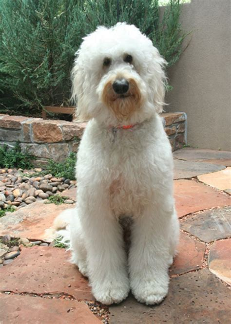 sheep doodle puppy 516 best images about goldendoodles on f1b goldendoodle