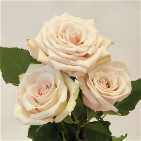 17 Best images about Sahara Roses on Pinterest   LUSH
