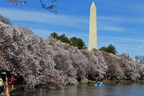 national cherry blossom festival national cherry blossom festival kicks off with opening