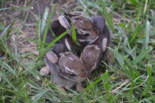 what to do with baby bunnies in backyard baby bunnies in the yard why it s hard to let nature take its course
