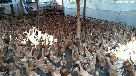 Bibit Bebek Lokal beternak bebek tanpa air sistem pemeliharaan secara intensif