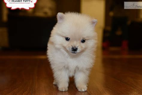 pomeranian puppies for sale in washington pomeranian puppy for sale near washington dc 226027e4 0c01