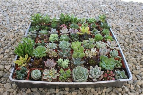 Wedding Favors For Sale by 2 Quot Assorted Succulent Succulents For Sale Bulk Succulent