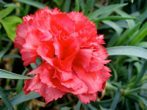 what is a state flower ohio state flower red carnation