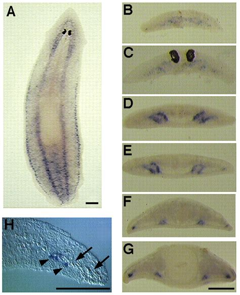 regeneration and pattern formation in planarians iii the genetic network of prototypic planarian eye