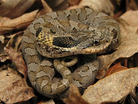Garden Snake Tn Eastern Hognose Snake Franklin Co Tennessee 2 Flickr
