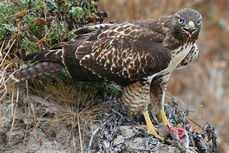 what do birds of prey eat raptor food