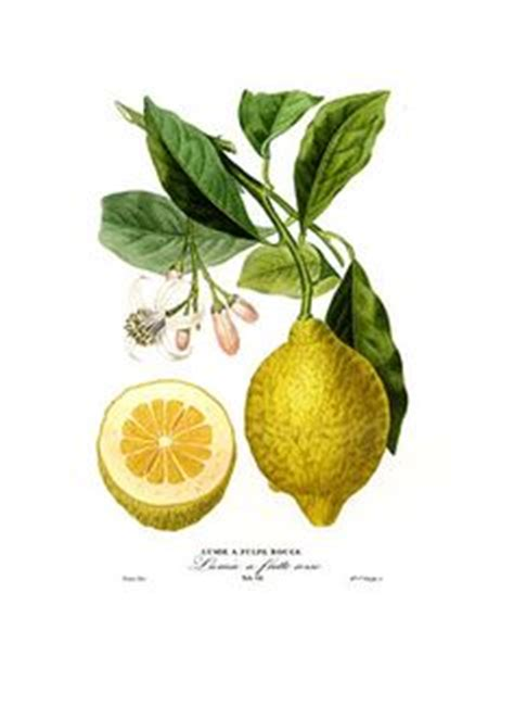 Botanical Lemons on Pinterest   Botanical Prints, Lemon