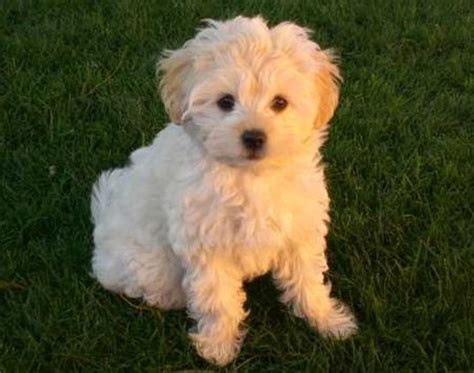 shih tzu golden retriever mix golden retriever shih tzu cross 1001doggy