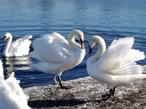 beautiful water birds beautiful birds pinterest