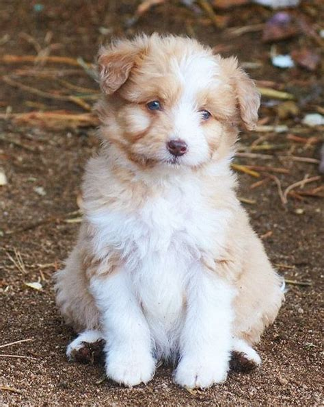 blue merle aussiedoodle puppies for sale 181 best images about aussiedoodles on poodles oregon and minis
