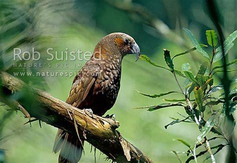 north island kaka native parrot bird nestor meridionalis