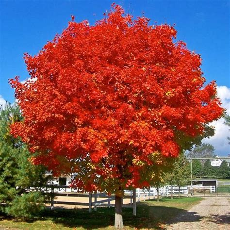sunset maple tree root system october maple yard trees fastgrowing october