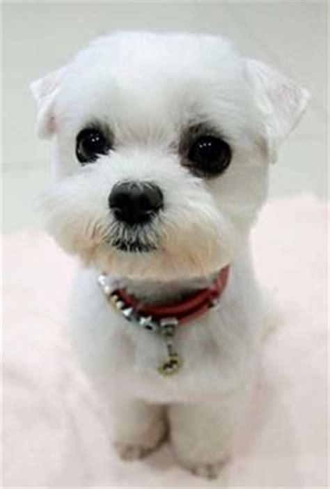 panda chin puppy haircuts micro teacup maltese puppies poshfairytail s tiny teacup