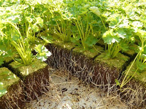 Plant De Persil by Quand Et Comment Semer Du Persil R 233 Ussir Semis De
