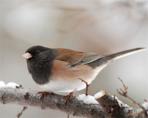 dark eyed juncos