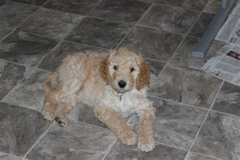 goldendoodle puppy toronto goldendoodle breeder goldendoodle puppy breeder