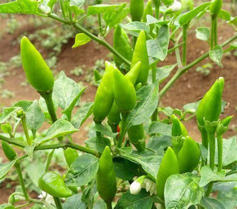 cara membuat zpt organik untuk tanaman cabe cara menanam cabe rawit secara organik bibitbunga com