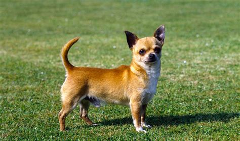 how many puppies can a chihuahua 9 small breeds which make apartment dogs urdogs