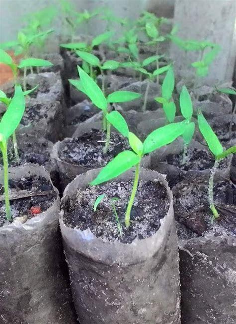 Bibit Cabe Per Batang 4 cara merawat tanaman cabe umur 1 bulan yang baik dan