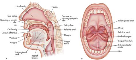 define sagittal section oral cavity a sagittal section b anterior view as