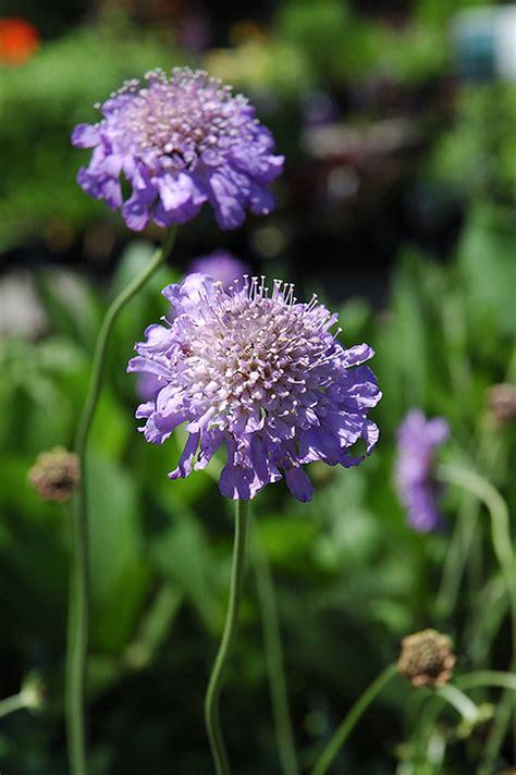 butterfly blue pincushion flower scabiosa butterfly blue