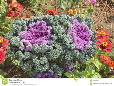 ornamental cabbage indoors ornamental cabbage kale in a garden stock image image